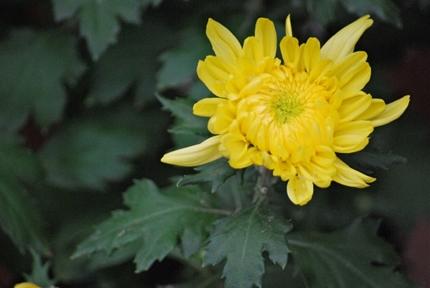 重陽の節句の菊の花