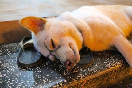 メガネをかけて寝る犬